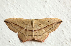 Moth on the wall Stock Images