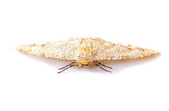 Moth. Moth on white background Stock Photography