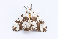 Moth on White background. Close up of moth on White background Stock Photography