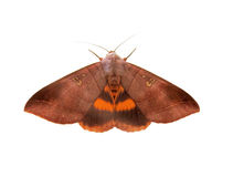 Moth on white. Brown Moth on white background Royalty Free Stock Photo