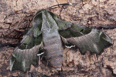 Moth - Willowherb Hawkmoth (Proserpinus proserpina) Royalty Free Stock Photo