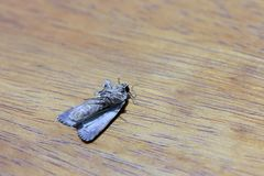 Moth on the wood table. Moths comprise a group of insects related to butterflies. stock images