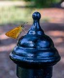 Moth Yellow Stock Photos