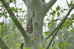 Moth Yponomeutidae plague Royalty Free Stock Image