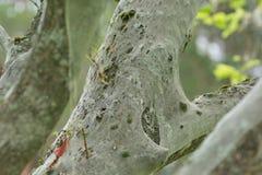 Moth Yponomeutidae plague Stock Images
