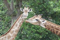 Close-up Giraffe`s Face stock photos