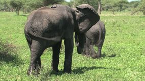 Mother African Elephant and calf grazing on the grassland stock video footage