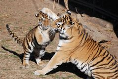 Mother amur tiger and cub. Mother amur tiger calming down baby royalty free stock photo