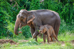 Mother And Baby Elephant Royalty Free Stock Photo