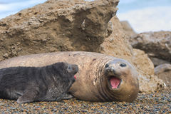 Mother And Baby Elephant Seals. Stock Photo