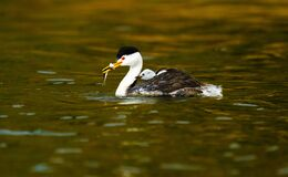 Free Mother And Baby Grebe With Fish Stock Photo - 211290060