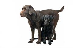 Mother And Baby Labrador Royalty Free Stock Photos