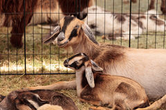 Mother And Baby Nigerian Dwarf Goat Stock Photography