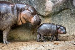 Free Mother And Baby Pygmy Hippo. Stock Photos - 113545133