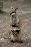 Mother And Baby Wallaby Stock Photos