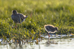 Mother And Chick Common Redshank Royalty Free Stock Photo