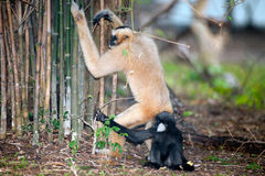 Mother And Son Of Northern White Cheeked Gibbon Nomascus Leucogenys . Royalty Free Stock Photos