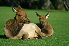 Free Mother And Young Elk Royalty Free Stock Photo - 7326885