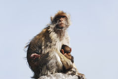 Mother Ape With Baby Breastfeeding At Gibraltar. A mother ape sitting with its child on a rock in Gibraltar (UK) and is breastfeeding the small one. Apes are our Royalty Free Stock Images