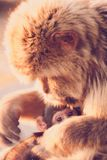 Mother ape. Ape Gibraltar Macaques baby Royalty Free Stock Photography
