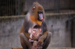 Mother ape holding her baby  Stock Photos
