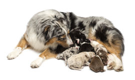 Mother Australian Shepherd with its 7 day old Royalty Free Stock Photography