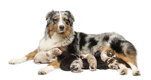 Mother Australian Shepherd with its 7 day old puppies suckling against white background. Isolated on white royalty free stock photo