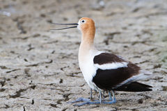 Mother avocet Royalty Free Stock Image
