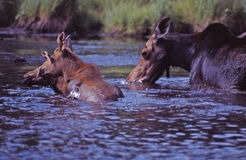 Mother and babies. This mother moose takes her babies for a swim royalty free stock photo