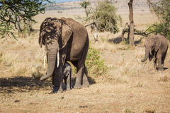 Mother and babies elephants Stock Images