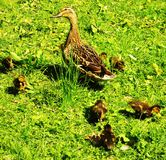 Mother and Babies. Newly hatched Mallard Anas platyrhynchos ducklings foraging in grass with mature female keeping watch, Lightoaks Park, Salford, UK, May 2018 Stock Photography