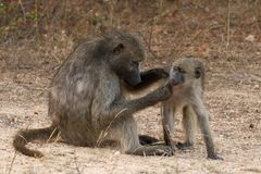 Mother baboon with baby Stock Image