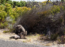 Mother baboon cleaning baby. A mother baboon cleaning her baby on the side of a road in South Africa Stock Image