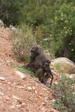 Mother Baboon and her baby. Royalty Free Stock Images