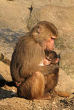 Mother baboon holding her baby Stock Images