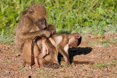 Mother baboon searching for ticks and fleas Royalty Free Stock Photo