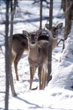 Mother and baby. Whitetail doe pose as they see me royalty free stock images