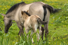 Mother and baby. Horses family on a grassland royalty free stock photos