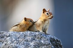 Mother and baby. Mother squirrel with baby sitting on granite rock royalty free stock photos