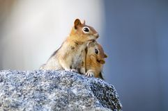 Mother and baby. Mother squirrel with baby sitting on granite rock