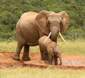 Mother and baby African elephant, South Africa. Mother and baby African elephant at a waterhole, South Africa royalty free stock photos