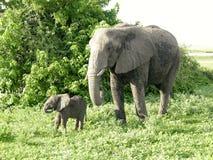 Mother and baby african elephants, Botswana. Royalty Free Stock Image