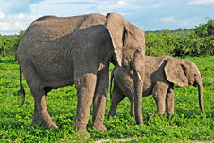 Mother and baby african elephants, Botswana. Stock Image