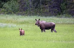 Mother and baby alaskan caribou Stock Image