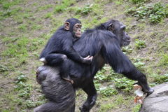 Mother with baby ape on back Royalty Free Stock Photo