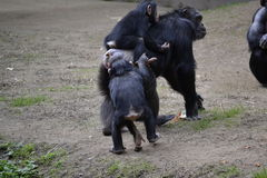 Mother and Baby Apes Royalty Free Stock Photos
