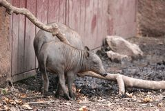 Mother and baby babirusa Royalty Free Stock Photos