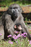 Mother and Baby baboon. Mother and Baby Chacma baboon with Springtime flowers in Cape Town forest Stock Photo