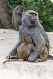 Mother and baby baboon Royalty Free Stock Images