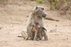 Mother and baby baboon, Kruger, South Africa Stock Images